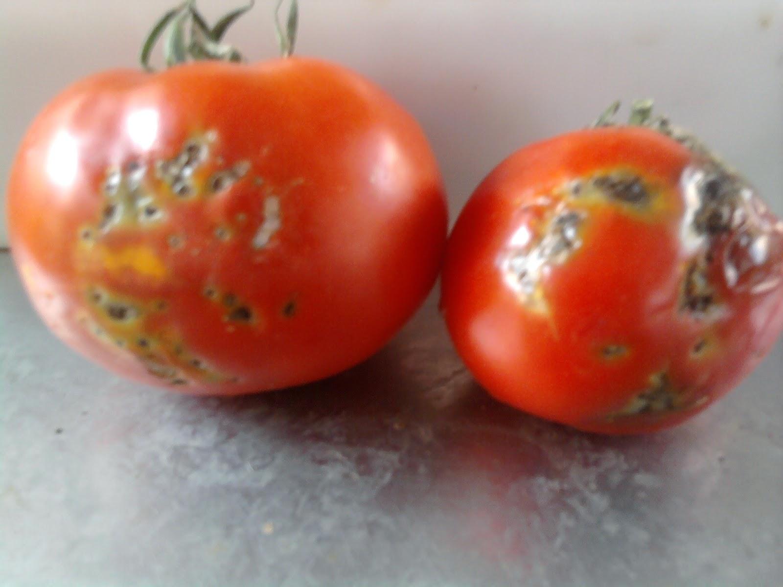 Δεν πρέπει να βάζετε τις ντομάτες στο ψυγείο! Δείτε γιατί!