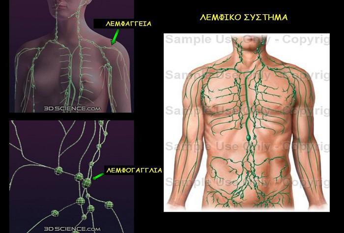 Η συμβολή του λεμφικού συστήματος στην άμυνα του οργανισμού, στην επιδιόρθωση των ιστών και στην απομάκρυνση των τοξινών