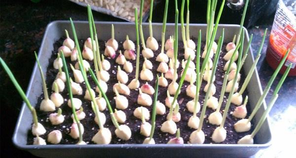Σταματήστε να αγοράσετε σκόρδο! Δείτε πως να καλλιεργήσετε μόνοι !