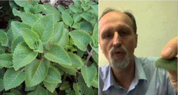 """Το φυτό γνωστό ως """"VAPORUB"""" που μπορεί να θεραπεύσει την ιγμορίτιδα και το διαβήτη και να ενισχύσει την καρδιά"""