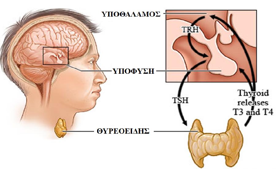 Σημάδια, συμπτώματα και θεραπείες του υποθυρεοειδισμού και του υπερθυρεοειδισμού