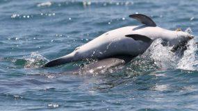 Σπαρακτική εικόνα: Δελφίνι κουβαλάει το νεκρό μωρό του στον Αμβρακικό (εικόνες & βίντεο)