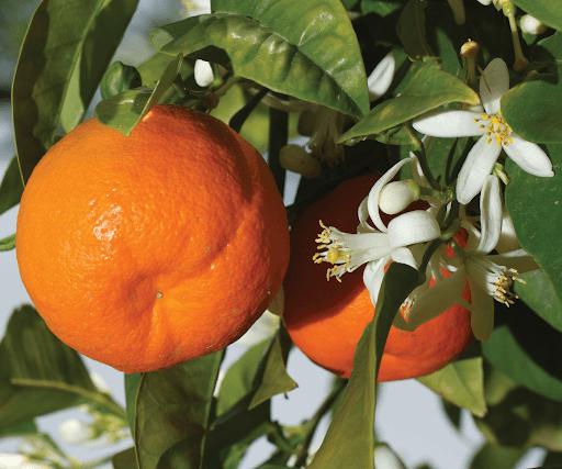 Μανταρίνια, τα φρούτα της μακροζωίας!