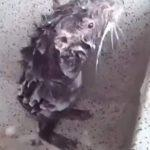 Το βίντεο που θα σας αφήσει άφωνους! Η παράξενη στιγμή που ένας αρουραίος κάνει μπάνιο με σαπούνι σαν κανονικός άνθρωπος