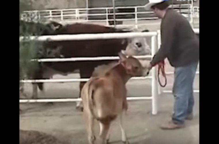 Συγκινητική ιστορία: Αγελάδα δε σταματά να κλαίει από όταν την χώρισαν από το μωρό της – Δείτε την αντίδρασή της όταν επανασυνδέονται