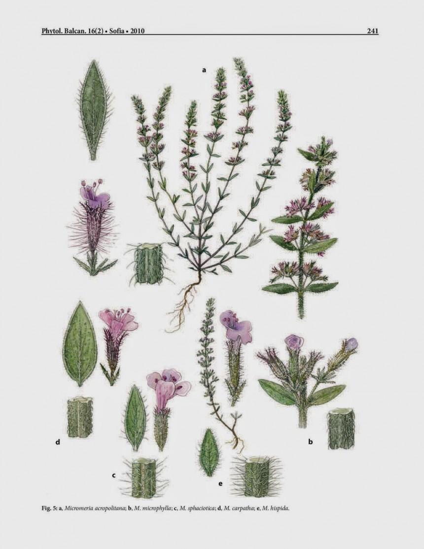 Το αγριολούλουδο αυτό φυτρώνει μόνο στην Ακρόπολη και δεν μπορείς να το βρείς πουθενά αλλού στον κόσμο!