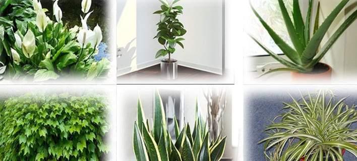 Προσοχή!  Αυτά τα φυτά είναι βόμβες οξυγόνου -Πάρτε τουλάχιστον ένα σπίτι σας [εικόνες]