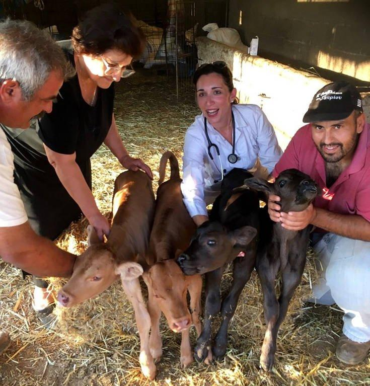 Ένα εξαιρετικά σπάνιο παγκόσμιο φαινόμενο: Αγελάδα γέννησε τετράδυμα στην Άνδρο