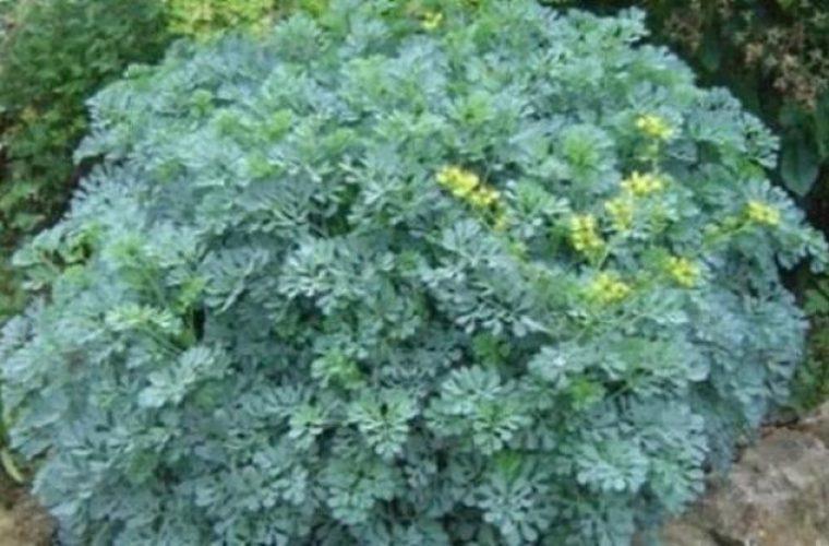 Αυτό είναι το φυτό που διώχνει τη γρουσουζιά, τη γλωσσοφαγιά και το κακό μάτι!