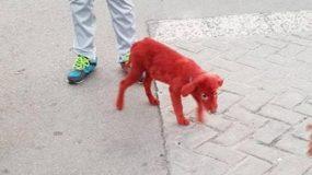 Aσυνείδητοι έβαψαν κουταβάκι με κόκκινη βαφή μαλλιών (Photo, Video)