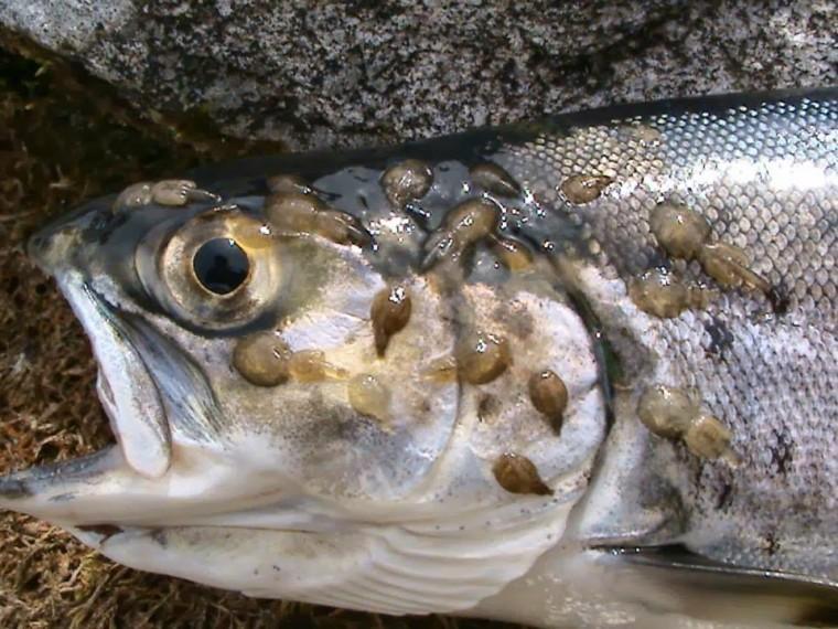 Προσοχή! Ψείρες της θάλασσας: Κι όμως υπάρχουν και είναι εξαιρετικά επικίνδυνες