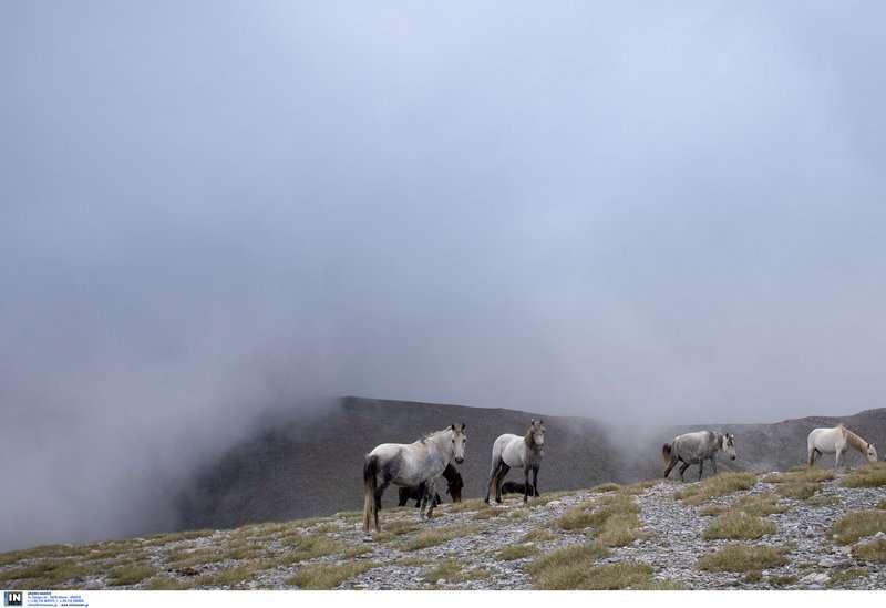 Τα εντυπωσιακά και πανέμορφα άγρια άλογα του Ολύμπου -Οι απόγονοι του Βουκεφάλα καλπάζουν ελεύθεροι και μαγεύουν τους επισκέπτες [εικόνες]