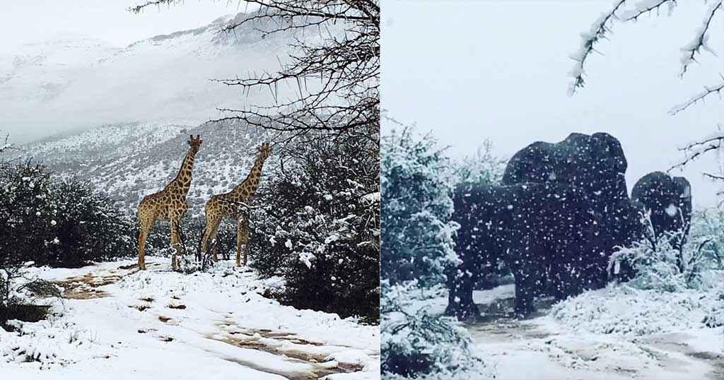 Σπάνιο τοπίο: Στα λευκά η Νότια Αφρική: Ελέφαντες και καμηλοπαρδάλεις μέσα στο χιόνι