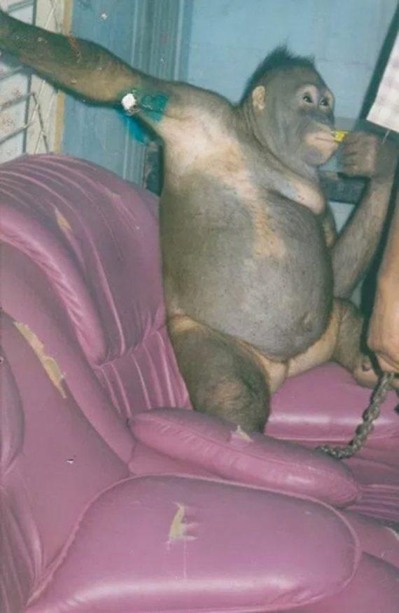 Η σοKaριστική ιστορία της Πόνι -Του ουρακοτάγκου που βίαζαν άνθρωποι σε οίκο ανοχής (εικόνες)