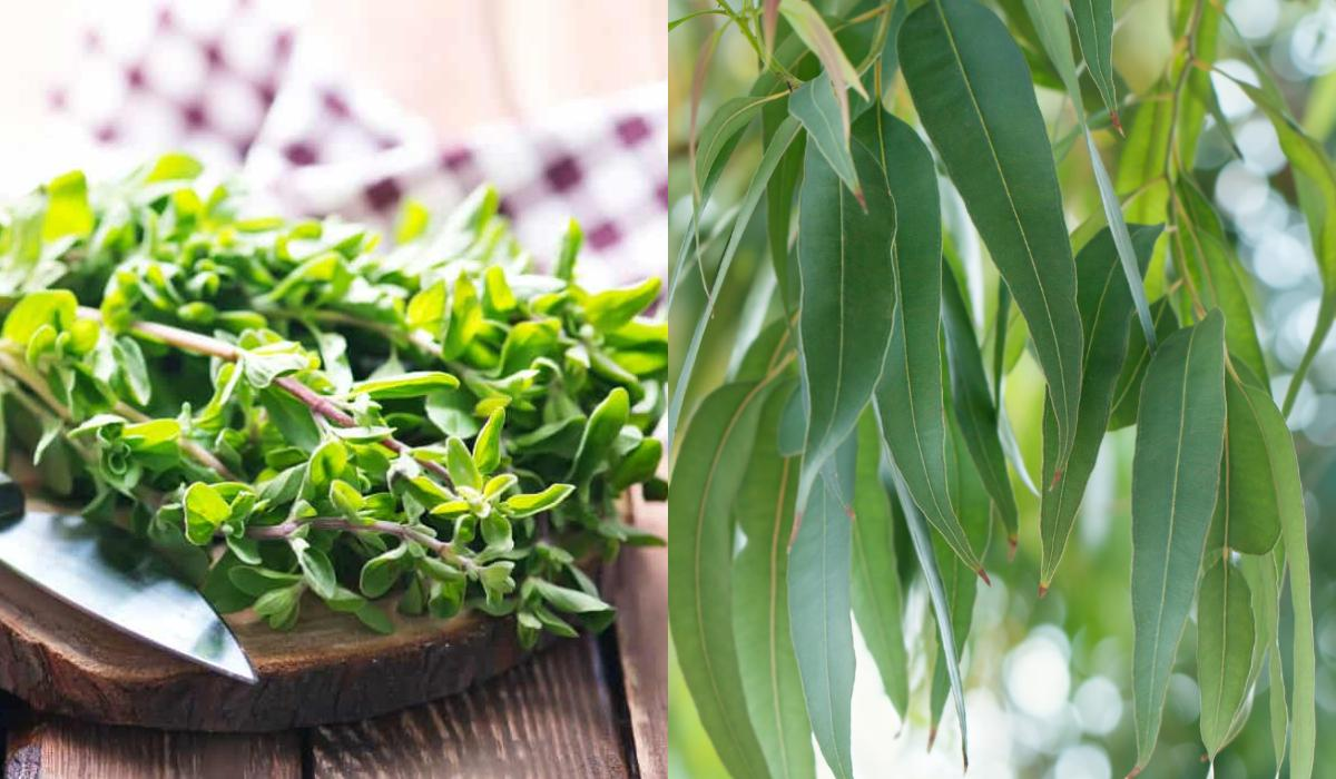 θεραπευτικά βότανα για βήχα, συνάχι, πυρέτο, πονόλαιμο, γρίπη