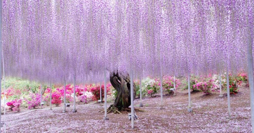 Το φυτό που είναι 144 ετών και δημιουργεί έναν μωβ ουράνο όνειρο!