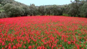 Λαλάδες : Οι όμορφες άγριες τουλίπες της Χίου βίντεο
