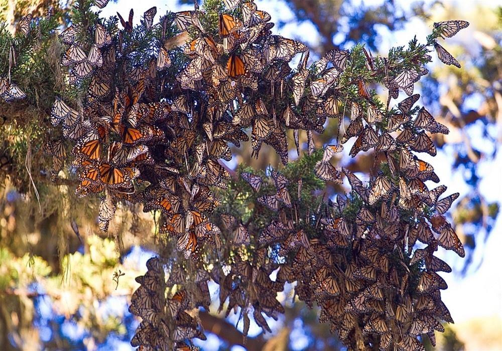 Η μετανάστευση των πεταλούδων μοναρχών