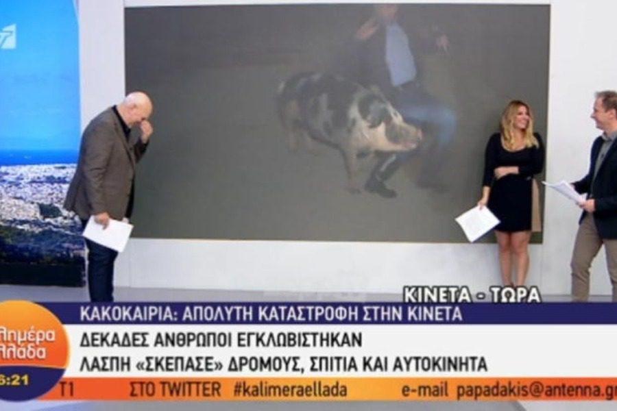 Πολύ γέλιο!Γουρούνι κυνηγάει δημοσιογράφο του Παπαδάκη on air