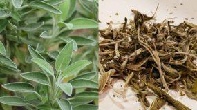 Φασκόμηλο: Το τσάι της Ελλάδας με τις αμέτρητες θεραπευτικές ιδιότητες που σταμάτα άμεσα το βήχα