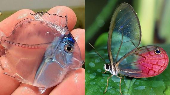 Διάφανα ζώα: Κι όμως υπάρχουν! Τα θαύματα της φύσης που θα σας αφήσουν με το στόμα ανοιχτό