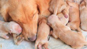 4 συμβουλές για την αντιμετώπιση της εγκυμοσύνης των σκύλων