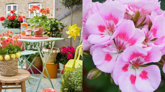 Οι λόγοι που πρέπει να φυτέψετε Γεράνια στον κήπο σας & tips διακόσμησης