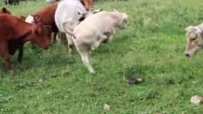 Αστείο video : Ένα κοπάδι αγελάδων είδε για πρώτη φορά χελώνες - Θα κλάψετε από τα γέλια