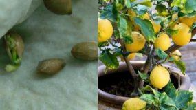 Πως μπορούμε να φυτέψουμε την δική μας λεμονιά στο μπαλκόνι; Δείτε τον τρόπο!