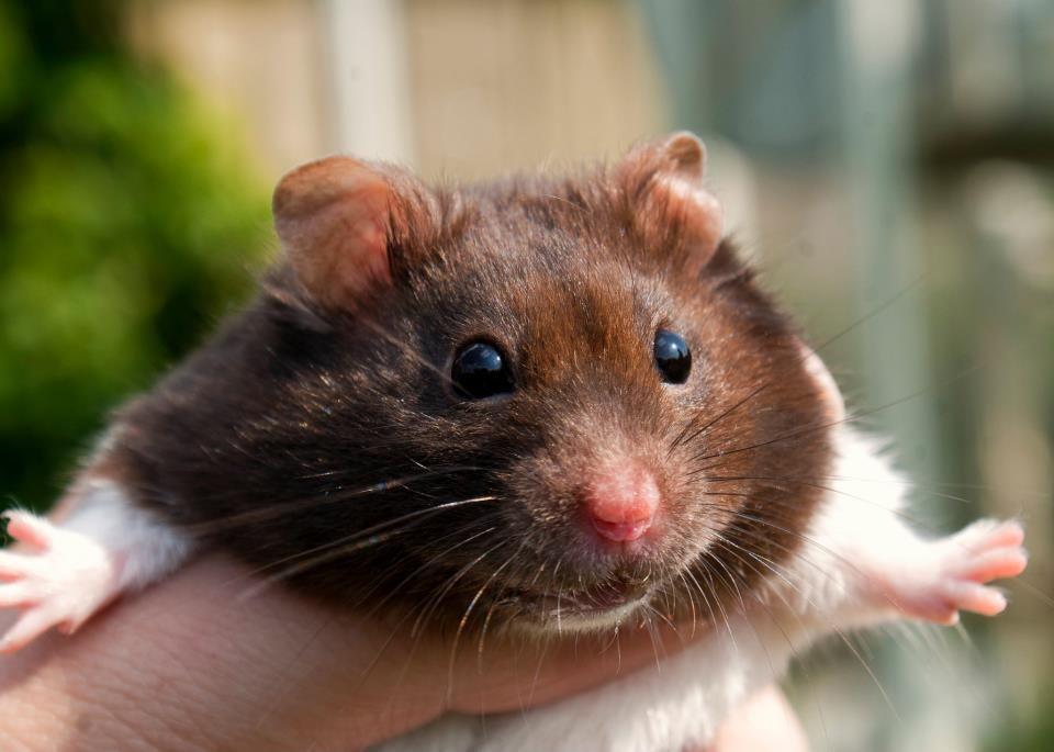 Τα θηλυκά hamster μερικές φορές, καταβροχθίζουν τα νεογνά τους, για να μην χρειαστεί να τα μεγαλώσουν.