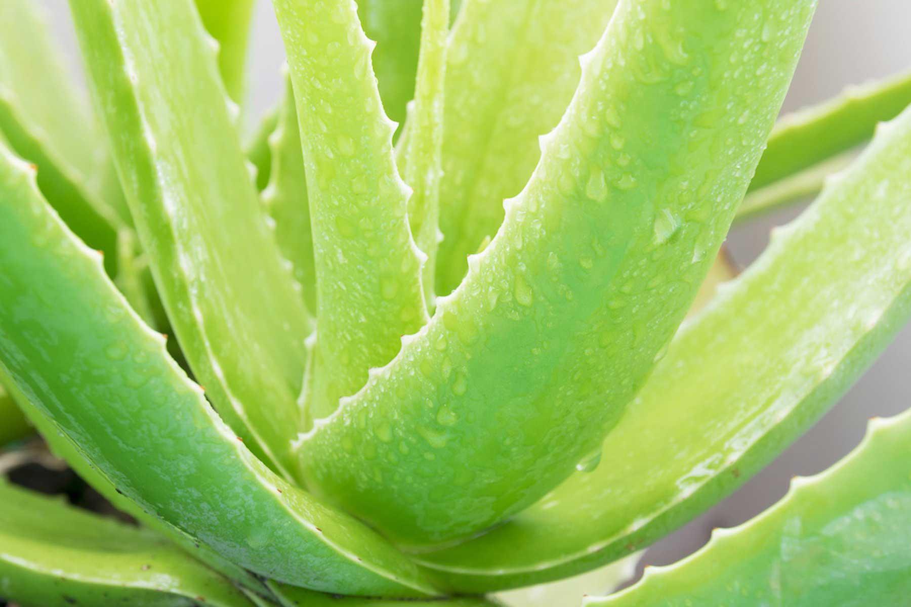 Φυτά που δεν θέλουν πότισμα_Αλοη_