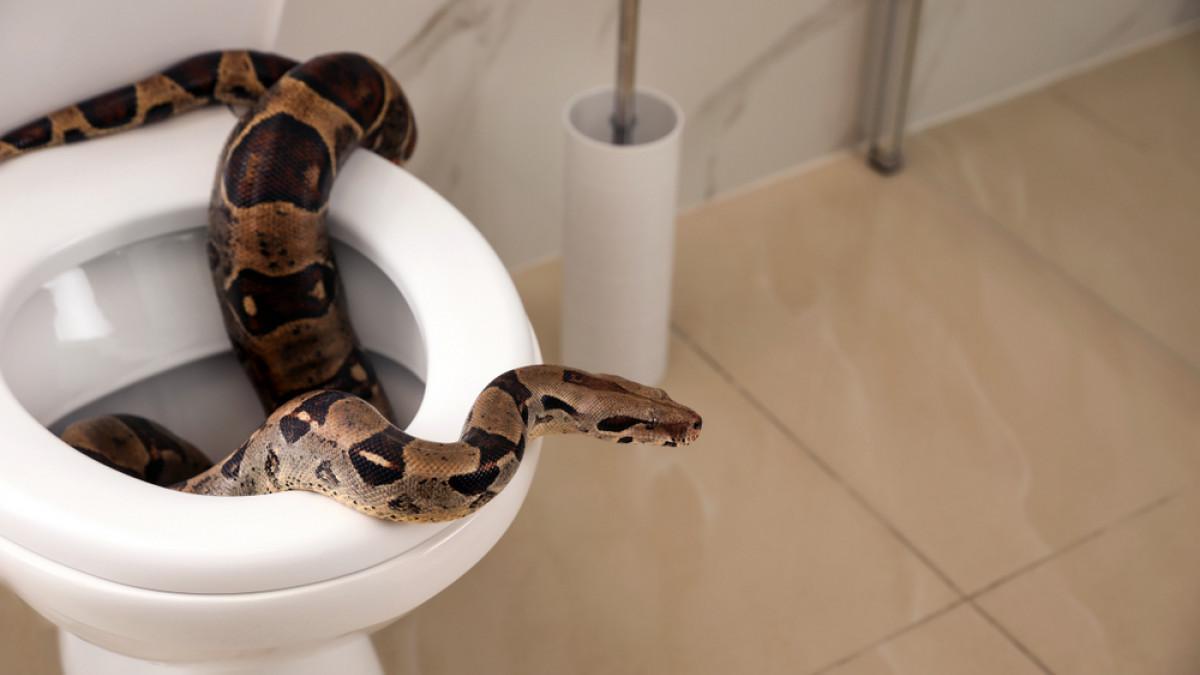 Φρίκη :  Φίδι βγήκε από την λεκάνη τουαλέτας και τον και τον δάγκωσε στα γεννητικά όργανα