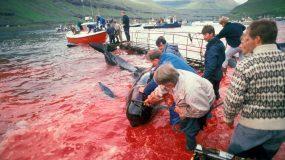 Νησιά Φερόε: Σκότωσαν 1.428 δελφίνια – -Κατακόκκινη η θάλασσα από το αίμα  –  Σκληρές εικόνες και βίντεο